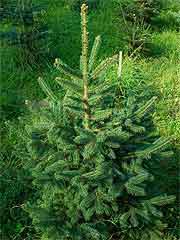 Rotfichte als weihnachtsbaum